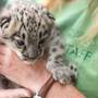 Woodland Park Zoo's snow leopard cub has a name