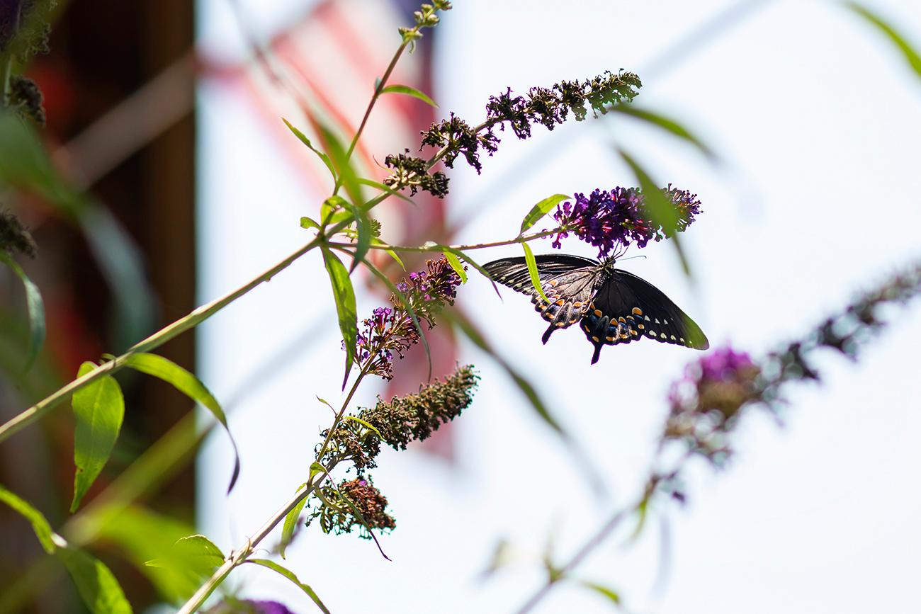 <p>Flower blooms in front of the homes help with butterfly conservation. The next phase of homes will feature wildflowers to support bee conservation. / Image: Allison McAdams // Published: 8.19.19</p>