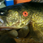 Michigan walleye tagged with cash rewards