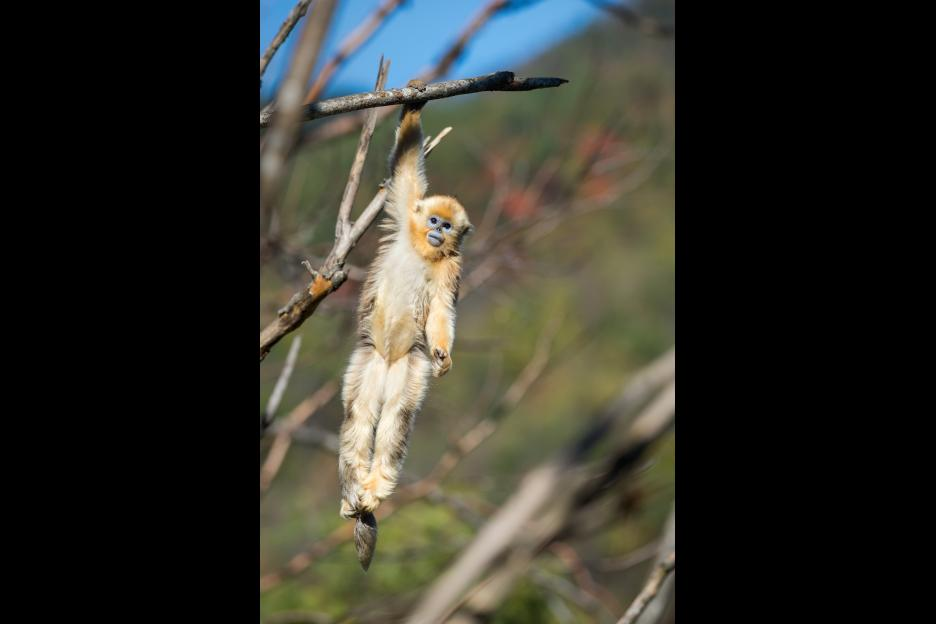 "A golden snub-nosed monkey featured in Disney Nature's ""Born in China"" film."