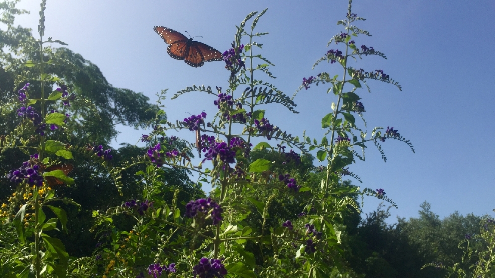 The Natural Gardener In Southwest Austin Has A Butterfly Garden That  Attracts Monarchs During Their Fall And Springs Migrations.