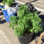 Several pots of marijuana plants abandoned in SW Portland