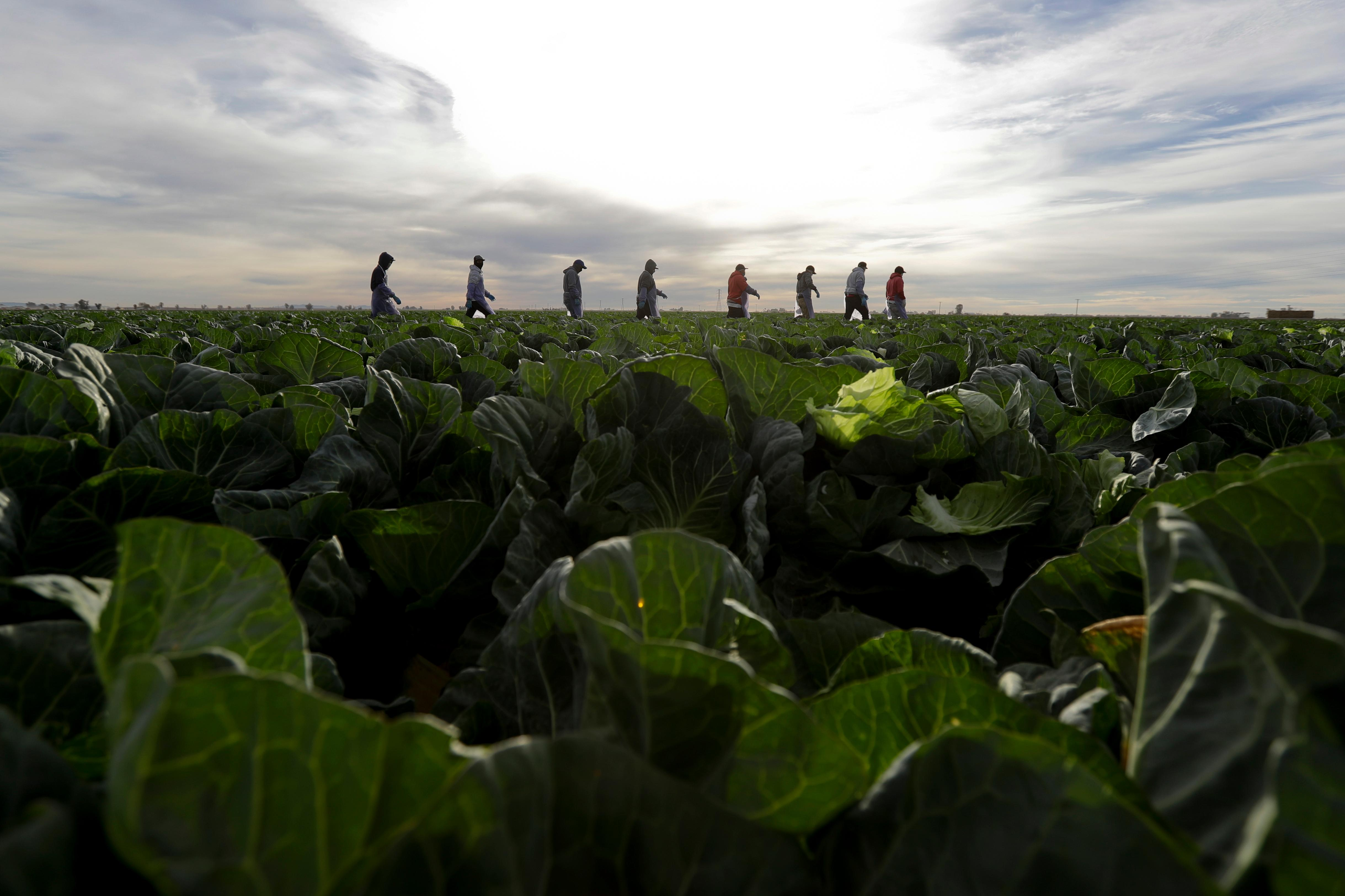 "In this March 6, 2018 photo, farmworkers walk through a field of cabbage during harvest outside of Calexico, Calif. For decades, cross-border commuters have picked lettuce, carrots, broccoli, onions, cauliflower and other vegetables that make California's Imperial Valley ""America's Salad Bowl"" from December through March. As Trump visits the border for the first time as president on Tuesday, March 13, the harvest is a reminder of how little has changed despite heated rhetoric in Washington. (AP Photo/Gregory Bull)"