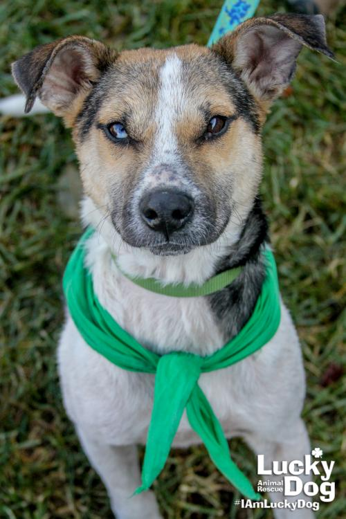 Snoopy is a 1-year-old, 35 pound beagle mix who is in desperate need of a loving family. Snoopy is a survivor of Hurricane Harvey and needs love, affection and care.{ }If interested in adopting, contact Lucky Dog Animal Rescue (Lucky Dog Animal Rescue)