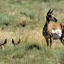 Game officials: 28 pronghorns poached in eastern Idaho