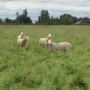 Sheep 'mow' grass irrigated by treated wastewater from Eugene/Springfield