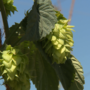 Locally grown hops can wind up in your beer