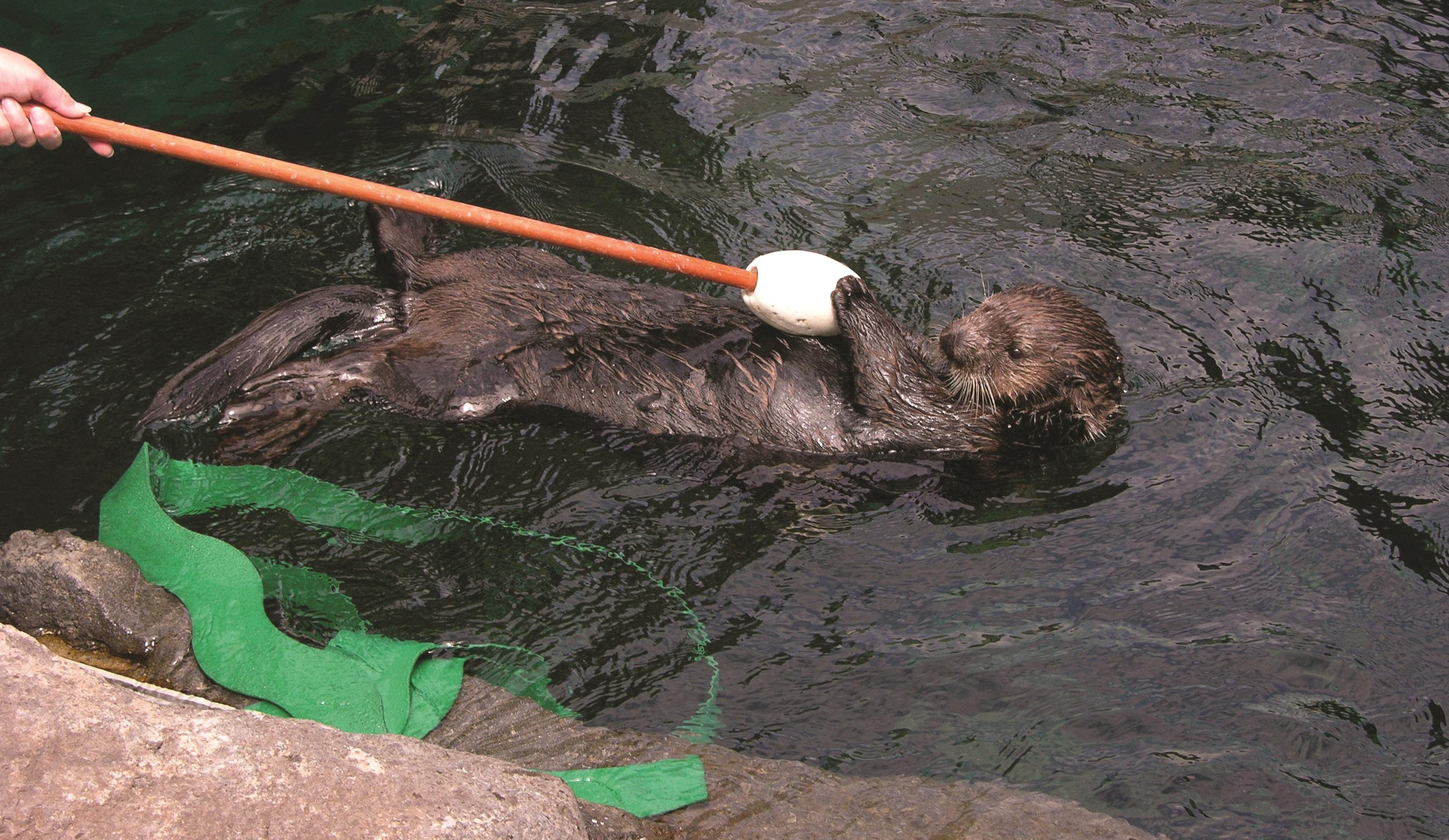 A sea otter training session.