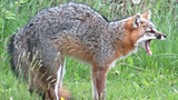 Baldwin County residents on edge after multiple fox attacks