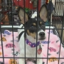 "High energy eight-month Rat Terrier ""Pet of the Week"""