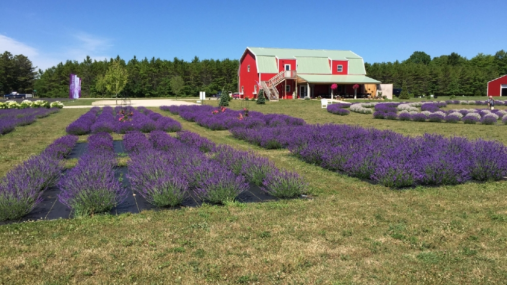Lavender Festival Washington Island