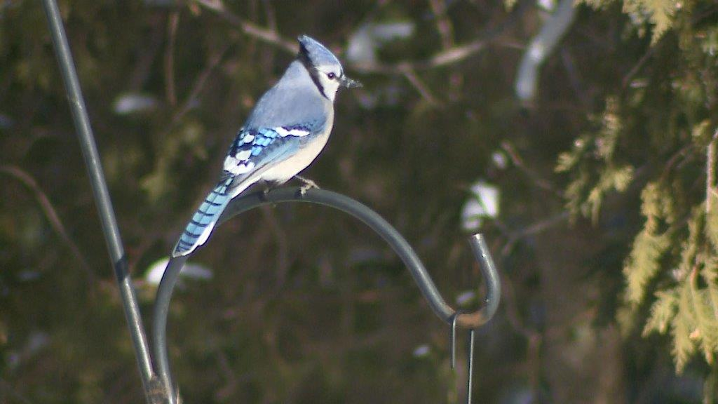 Blue Jay on feeder at The Ridges Sanctuary in Baileys Harbor, December 14, 2017 (WLUK/Eric Peterson)