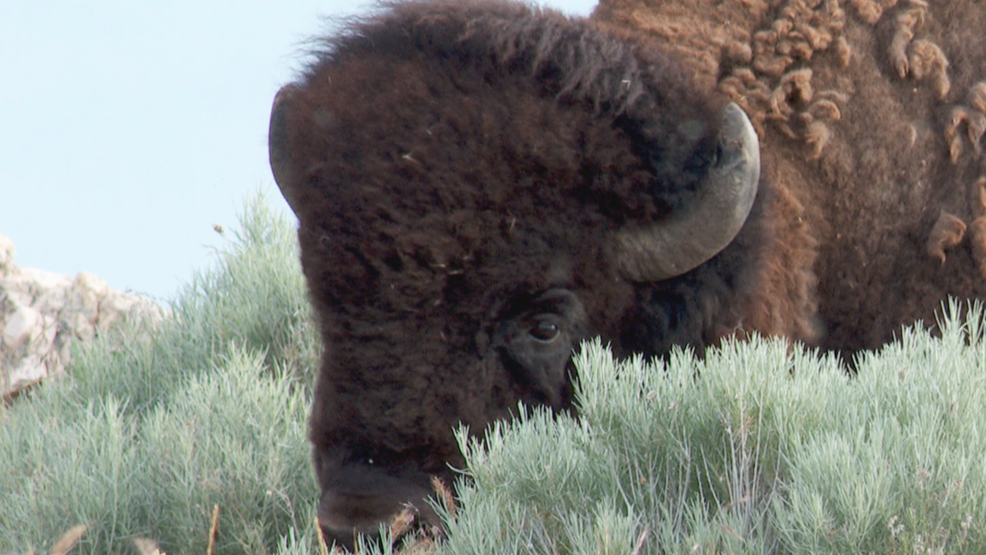 Details revealed say how events led up to bison attacking woman on Antelope Island