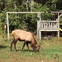 First elk sighting in South Carolina since 1700s