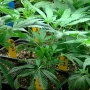Medford officials will discuss outdoor marijuana grows & where the city's ban applies
