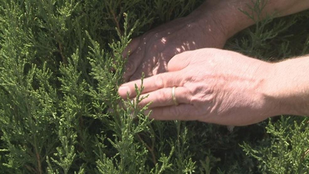 Bagworms now swarming Nebraska trees, leaves | KPTM