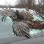 Wild turkey goes through windshield of truck