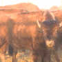 Oklahoma bison get clean bill of health during November roundup