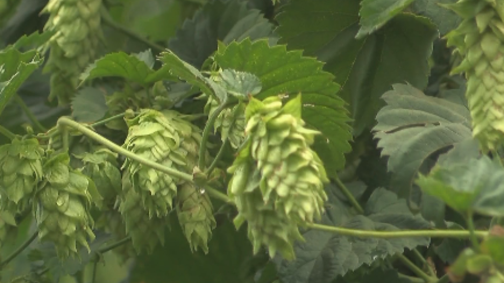 New report says demand for hops in US has peaked