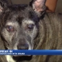 Burglars douse elderly dog in drain cleaner