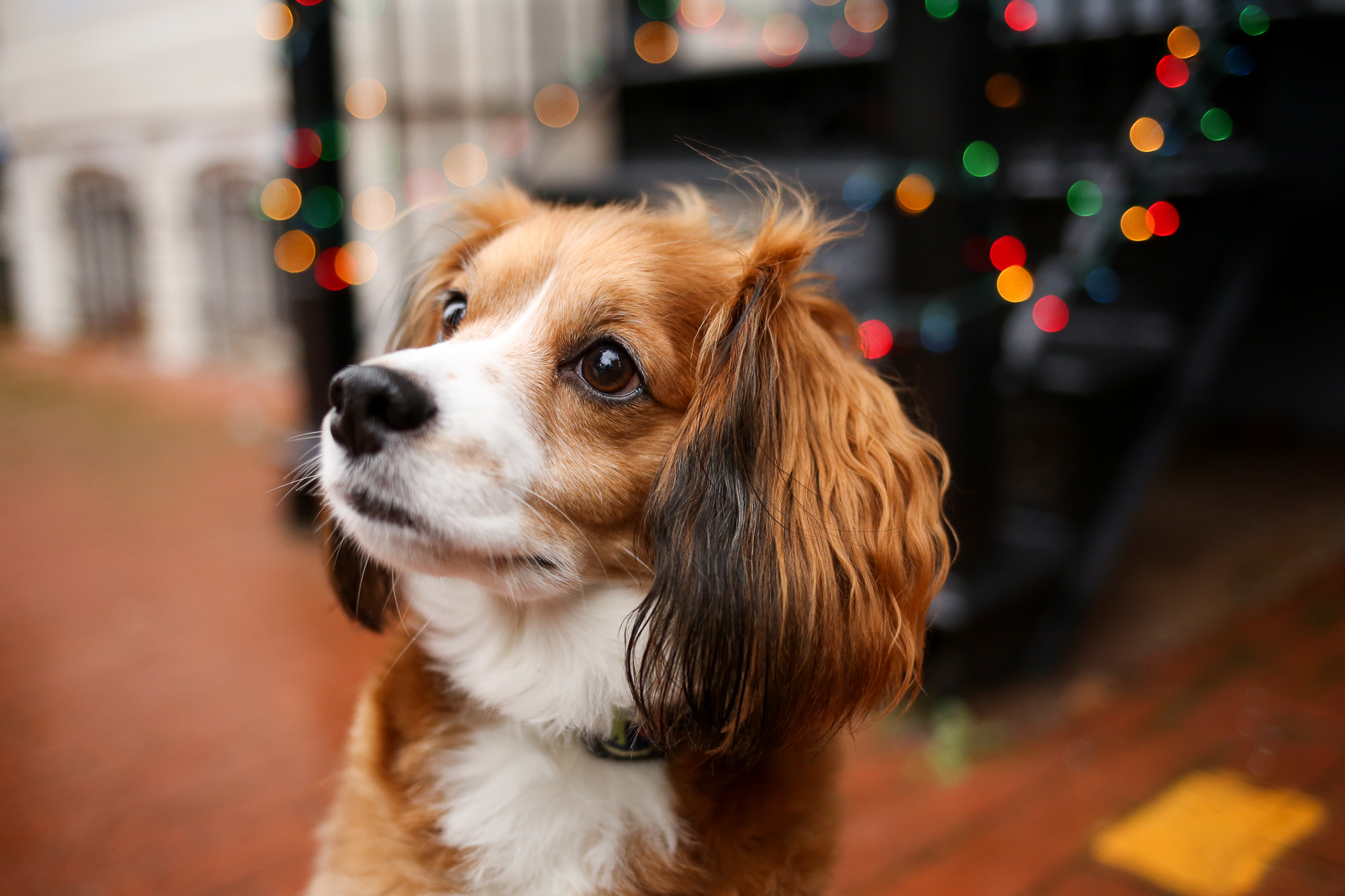 Meet Penny, a 6.5-year-old Cavalier King Charles/Cocker Spaniel mix. Penny has been living with her mom since 2013, when she adopted Penny during her senior year of college. Mom went to a rescue group in her neighborhood &quot;just to look&quot; and the rest was history! Penny is obsessed with her glow-in-the-dark Chuck-it ball and playing fetch, being a cuddle monster and sitting on patios with her parents. She hates salmon and being woken up early-- she would sleep all day if she had it her way. Penny is a serious squirrel hunter, and goes well beyond chasing them up trees, to the point where she will take a running start and jump several feet up the tree trunk and try to grab on with her paws! You can follow all of Penny's adventures on her Insta: @pennythedcpup. If you're interested in having your pup featured, drop us a line at aandrade@dcrefined.com (Image: Amanda Andrade-Rhoades/DC Refined)<p></p><p></p>