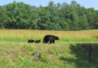 Bear mother& cubs_WarrenBielenberg.jpg