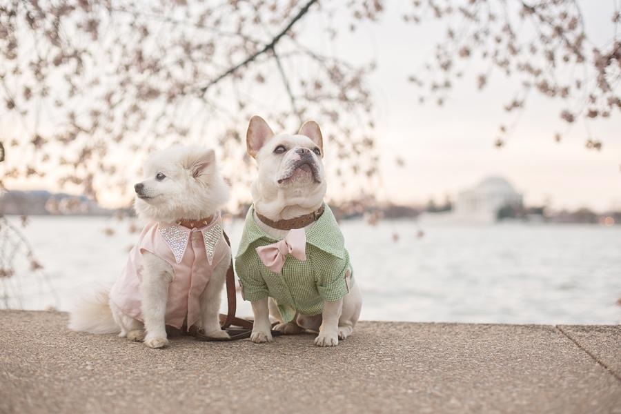 And now, they have stolen our hearts once again with this ADORABLE engagement photo shoot down by the Tidal Basin with the cherry blossoms as a picture-perfect background. (Image: Emily Abril)