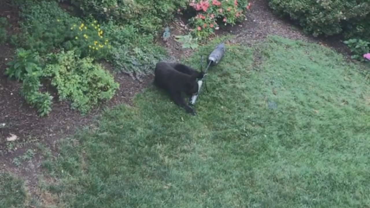 Bear spotted in Fairfax Station backyard (Surveillance Footage Screenshot)