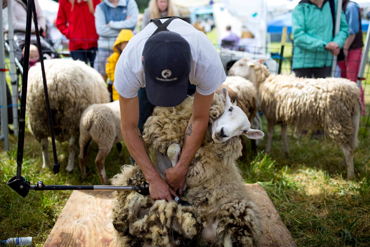 Hundreds of people flock to the Vashon Sheepdog Classic to watch shephards compete in the national qualifier at Misty Isle Farms on Vashon Island. (Sy Bean / Seattle Refined)