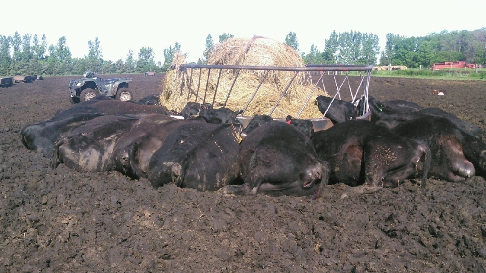 Single lightning strike kills 21 cows