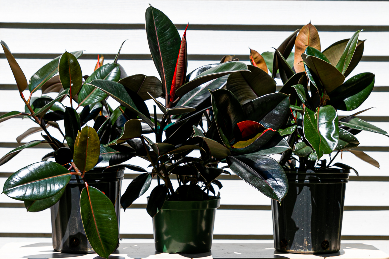 Eight-inch rubber plants, $50 / Image: Amy Elisabeth Spasoff // Published:{ }7.5.20