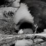 Third Decorah eaglet egg hatches