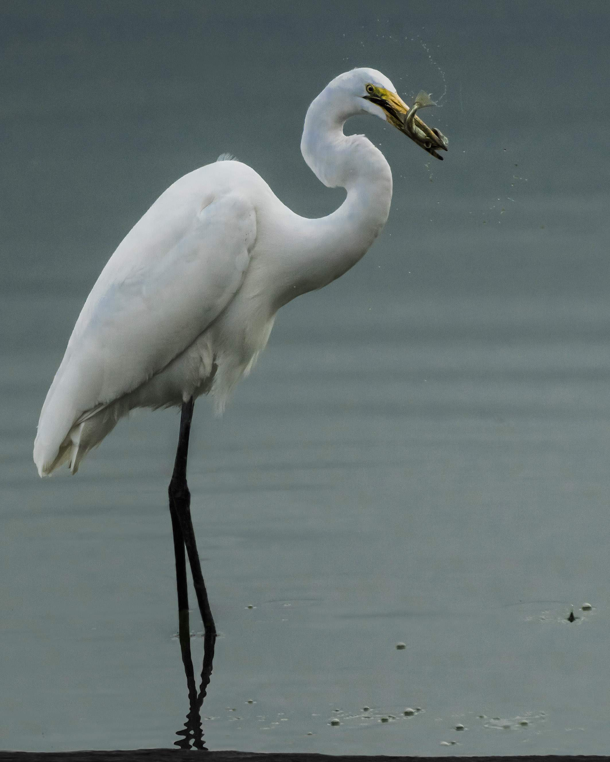Great egret with a fish at Agate Lake. - Photo by George Peterson