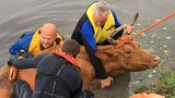 PHOTOS: Cow rescued from canal bank in Loxahatchee