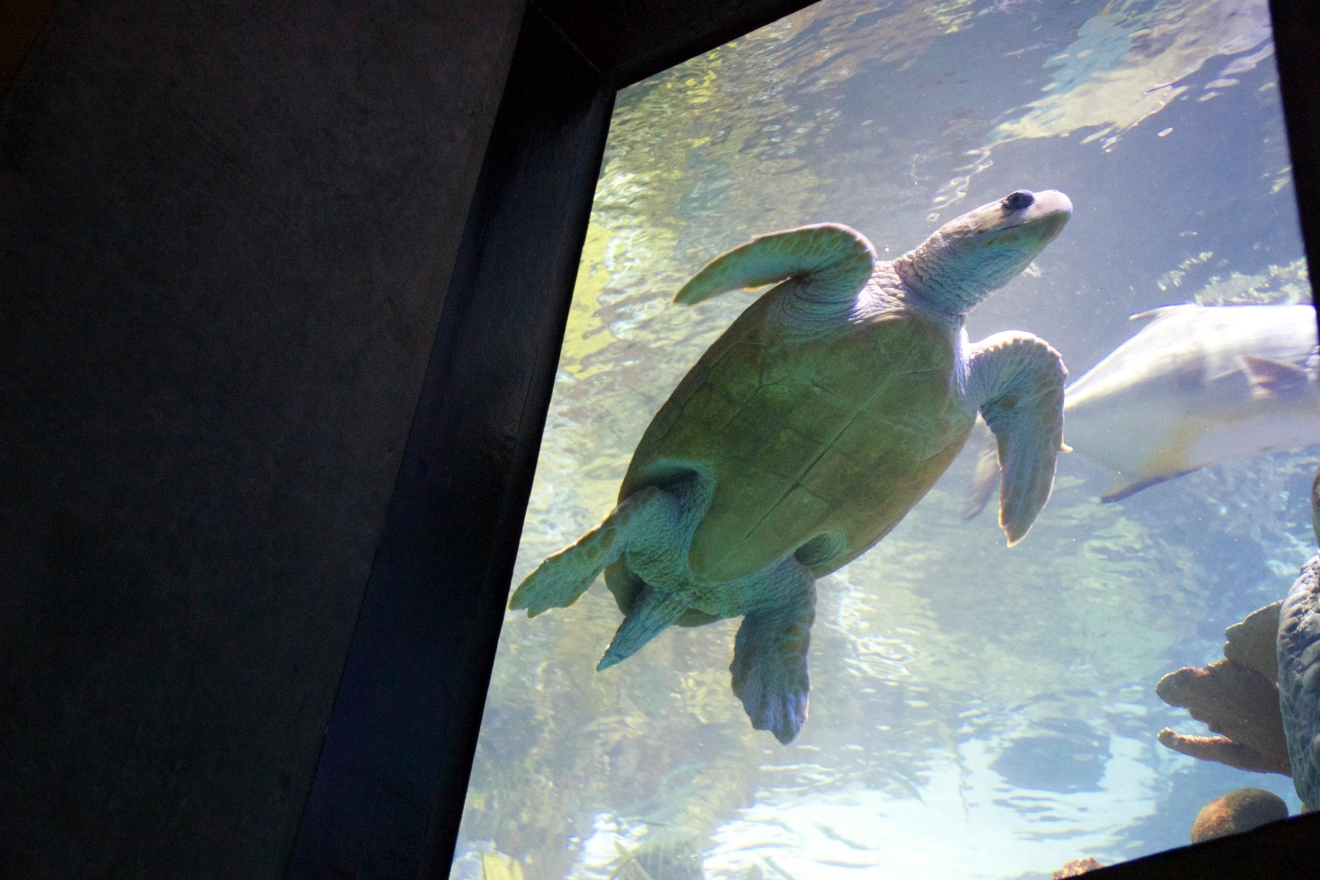 Visitors can walk the winding path around the glass walls in search of more than 1,000 critters, including sea turtles, sting rays, eels, and more. (Image: Lani Furbank)