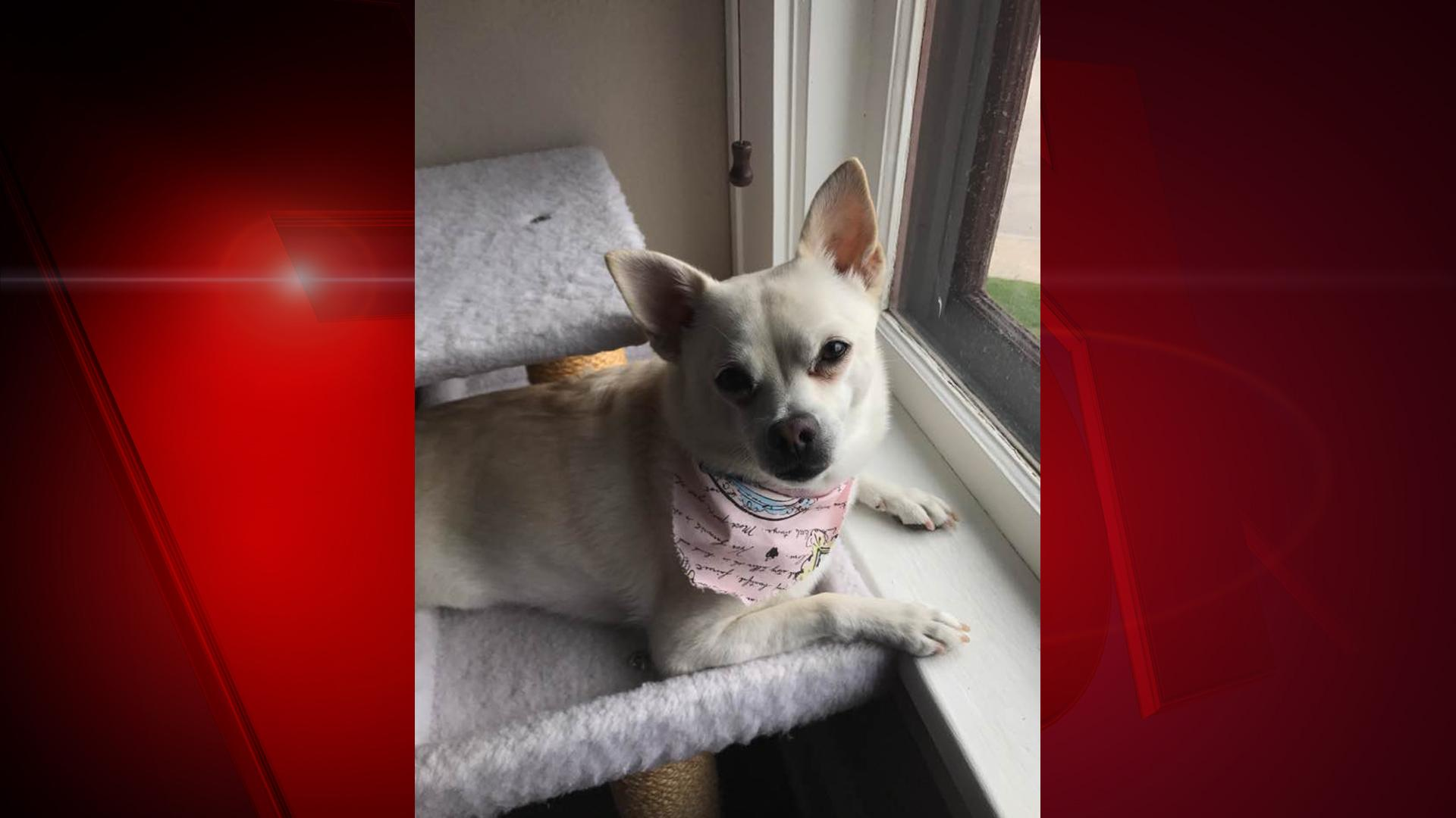 "Meet FOX 11 news reporter Alex Ronallo's dog, Ladybird.  She is a five-year-old Chihuahua-Shiba Inu. Alex says, ""She is famous for her appearances on FOX 11."" (WLUK/Alex Ronallo)"