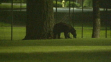 Bear stuck in Renton tree for more than 11 hours finally comes down; climbs up 2nd tree