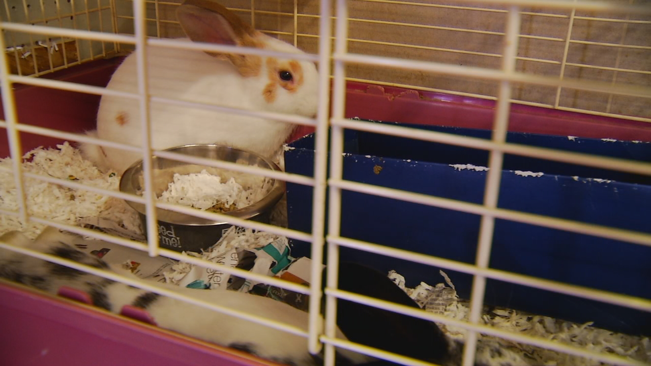 The 50 rabbits rescued from a hoarding situation in January have quickly multiplied, leaving Brother Wolf Animal Rescue in need of a little help. (Photo credit: WLOS staff)