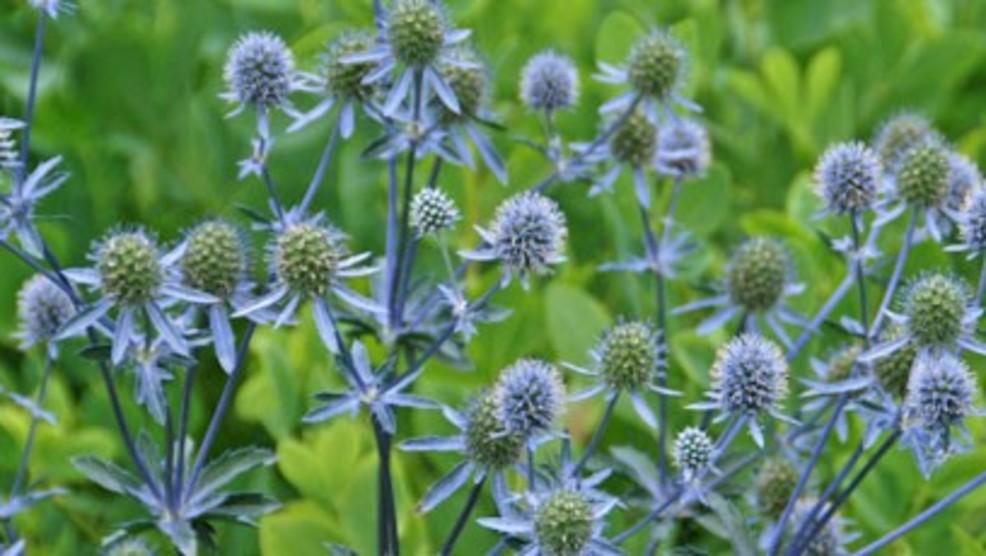 Melindau0027s Gardening Moment: Prickly U0026 Beautiful Plants For The Garden