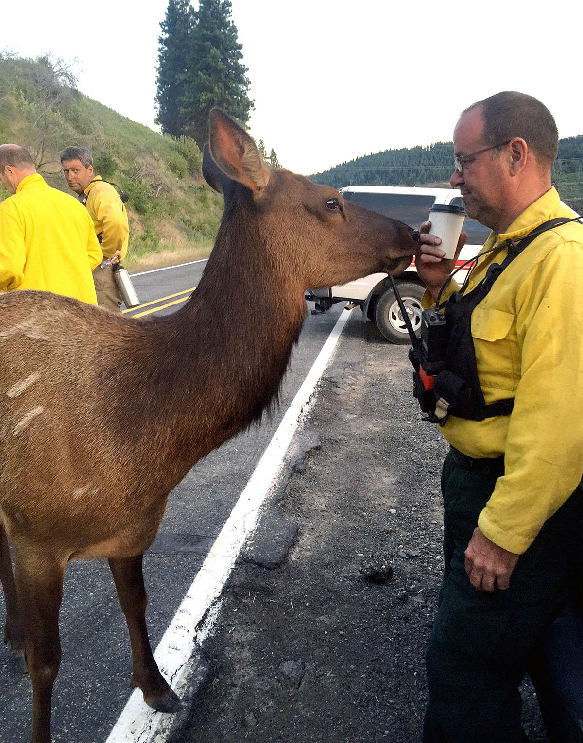 Affectionate elk nuzzles firefighters working to tame wildfire near Cle Elum