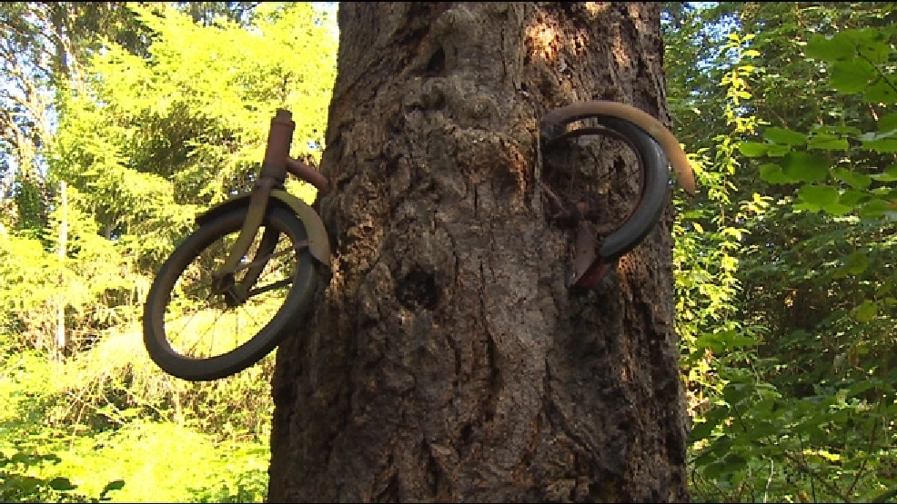Vashon Mystery How Did The Bike Become Embedded In The Tree Komo