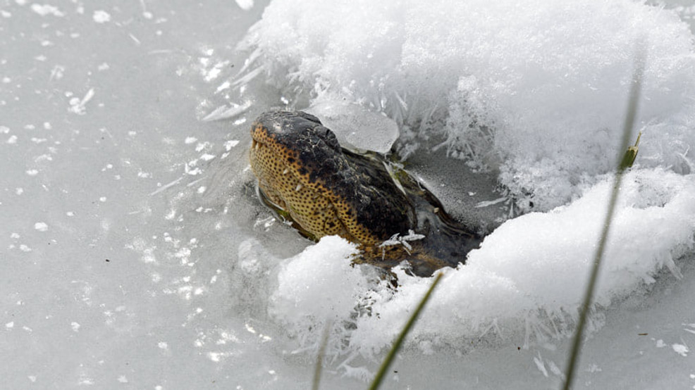 Alligators icing 3.jpg