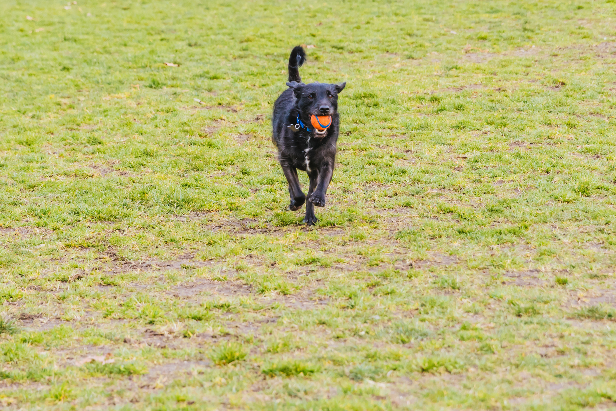 "Toby is a 4-year-old terrier mix who spent{&nbsp;}his early years roaming the streets of Guadalajara, Mexico.{&nbsp;}After relocating to Seattle in the summer of 2020 thanks to the good folks at Three Little Pitties, he settled into his new life in Ballard.{&nbsp;}While he may be very calm and patient (when waiting for treats), he loves to tear it up at the park chasing his ball. Toby likes chasing squirrels, camping and long hikes in the woods but isn't a fan of not being first to get the ball while playing fetch.{&nbsp;}<a  href=""http://seattlerefined.com/ruffined"" target=""_blank"" title=""http://seattlerefined.com/ruffined"">The RUFFined Spotlight</a>{&nbsp;}is a weekly profile of local pets living and loving life in the PNW. If you or someone you know has a pet you'd like featured, email us at{&nbsp;}<a  href=""mailto:hello@seattlerefined.com"" target=""_blank"" title=""mailto:hello@seattlerefined.com"">hello@seattlerefined.com</a>, and your furbaby could be the next spotlighted! (Image: Sunita Martini / Seattle Refined)"