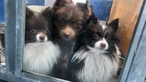 'Backyard breeder' facing criminal charges after 164 Pomeranians found in U-Haul truck
