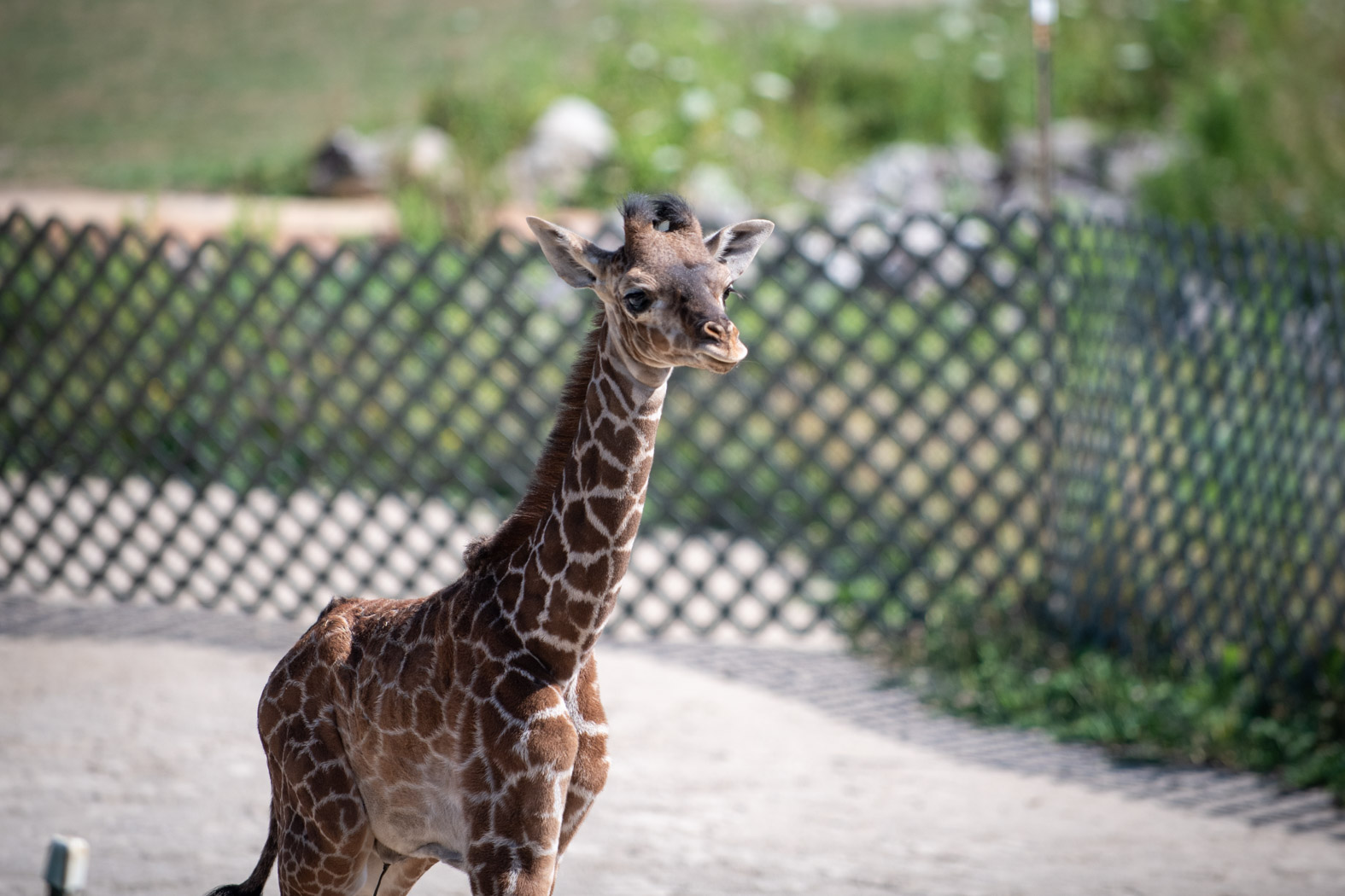 The Columbus Zoo and Aquarium said beginning Friday, Aug. 14, guests will have the chance to view the endangered male Masai giraffe that was born on June 28 to mother, Zuri and father, Enzi. (Columbus Zoo and Aquarium)