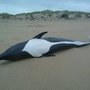 Right whale dolphin washes ashore on Manzanita Beach