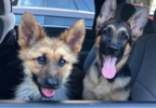 Ranger the Dwarf German Shepherd via Instagram 3.PNG