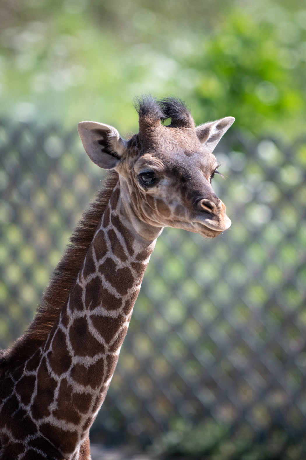 <p>The Columbus Zoo and Aquarium said beginning Friday, Aug. 14, guests will have the chance to view the endangered male Masai giraffe that was born on June 28 to mother, Zuri and father, Enzi. (Columbus Zoo and Aquarium)</p>