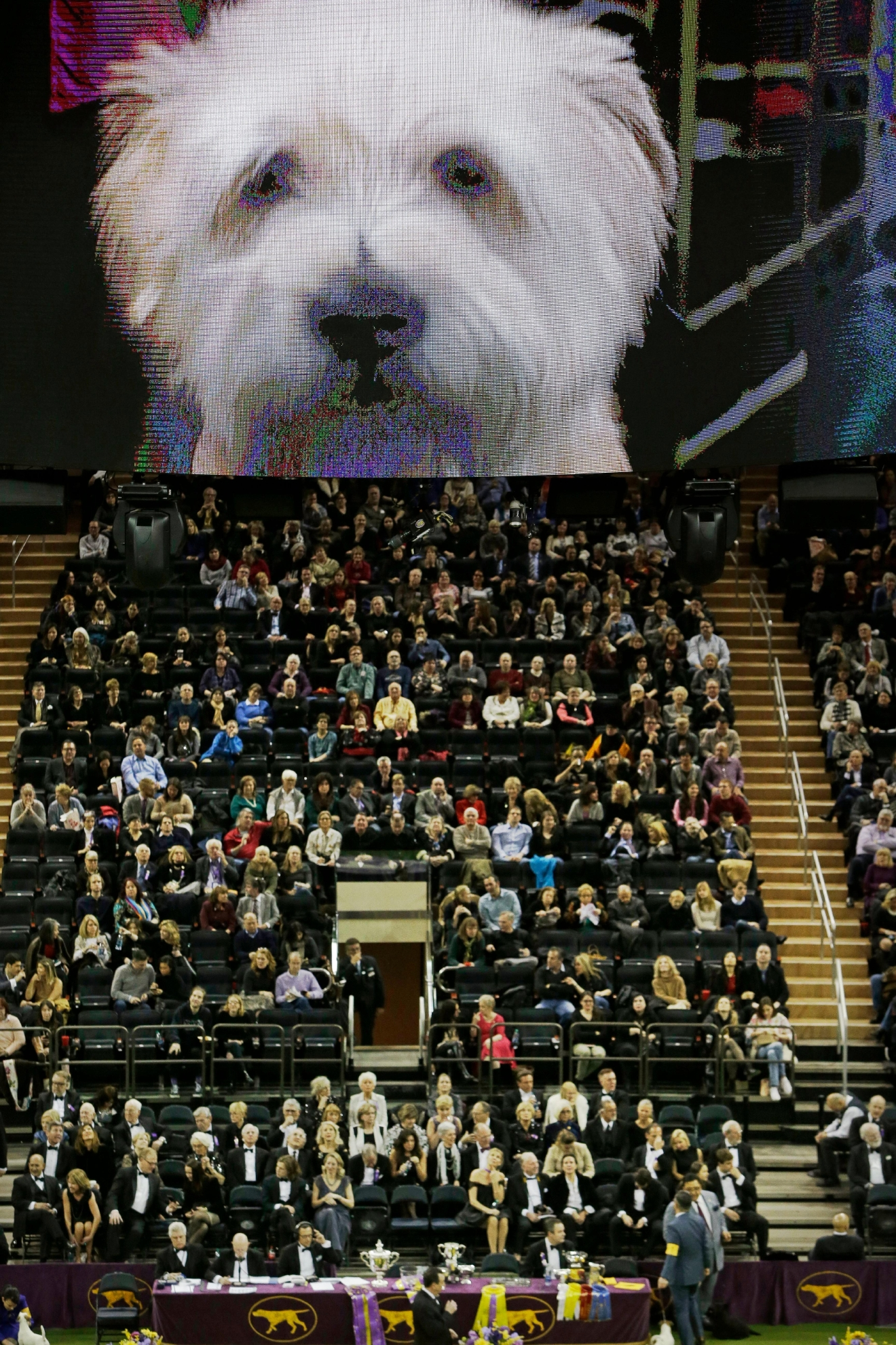 People watch as Taylor, a Glen of Imaal terrier, competes with the terrier group during the 141st Westminster Kennel Club Dog Show Tuesday, Feb. 14, 2017, in New York. (AP Photo/Frank Franklin II)