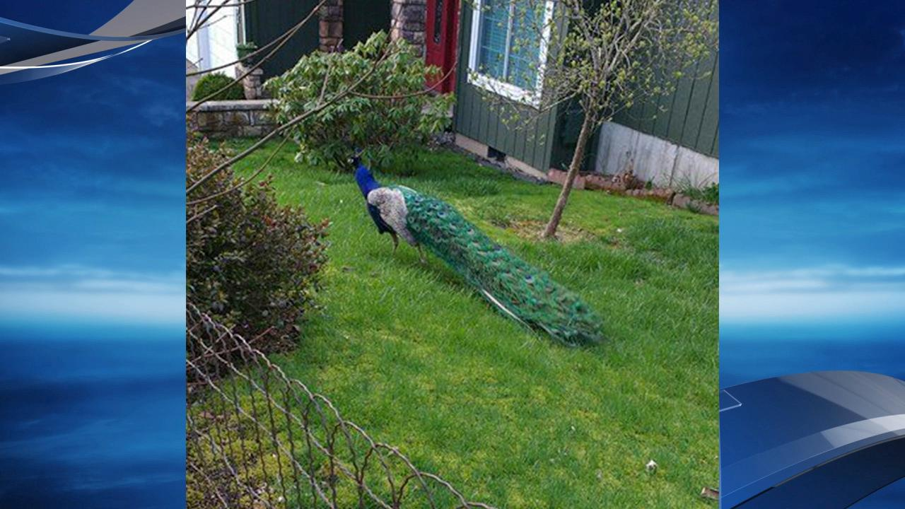Peacock seen on SW Canby Ct in Beaverton - Photo from Tracey Watt Tracy